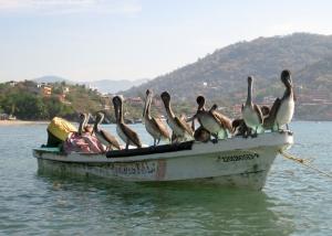 Pelicans enrout to Playa Los Gatos