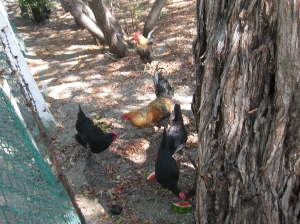 My flock of chickens