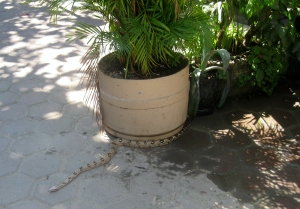 Snake near Elviro's
