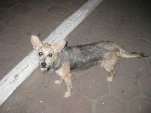 Scruffy, the street dog