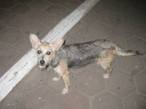 Scruffy, the street dog