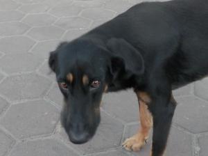 Sad eyed dog getting a steak bone