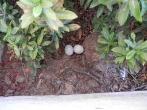 Pigeon eggs in our planter