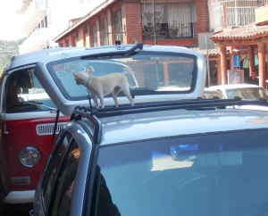 """Different type of """"roof"""" dog"""