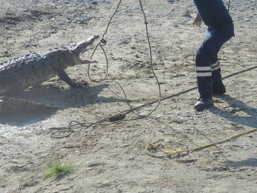 Crocodile Capture